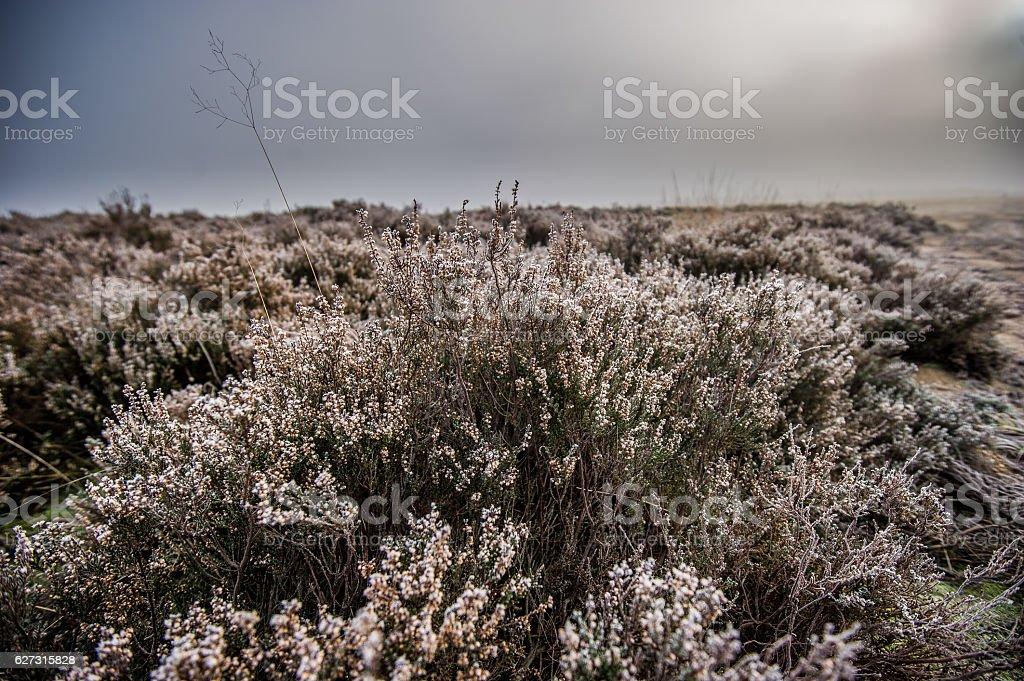 Verblühte Heide stock photo