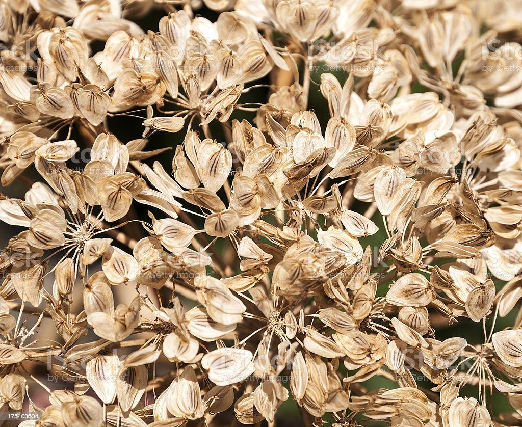 verblown flower stock photo