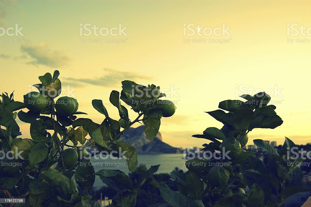 Verdant Mediterranean Lemon Tree royalty-free stock photo