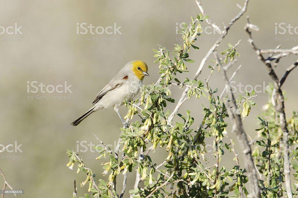 Verdin bird, Arizona royalty-free stock photo