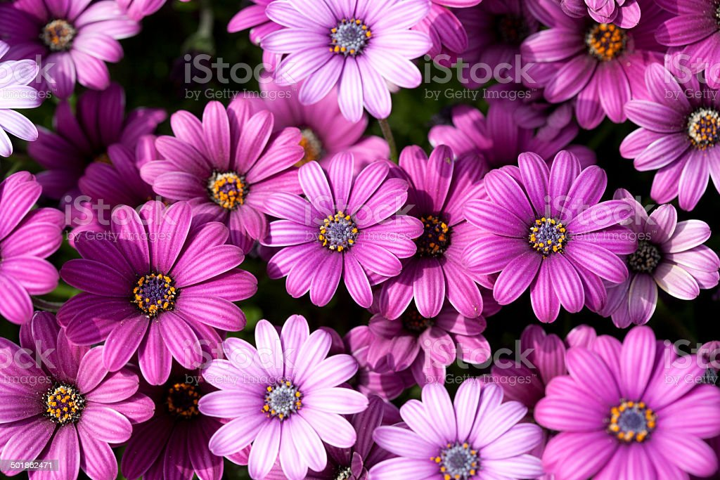 Verigated Magenta and Lilac Daisies. stock photo