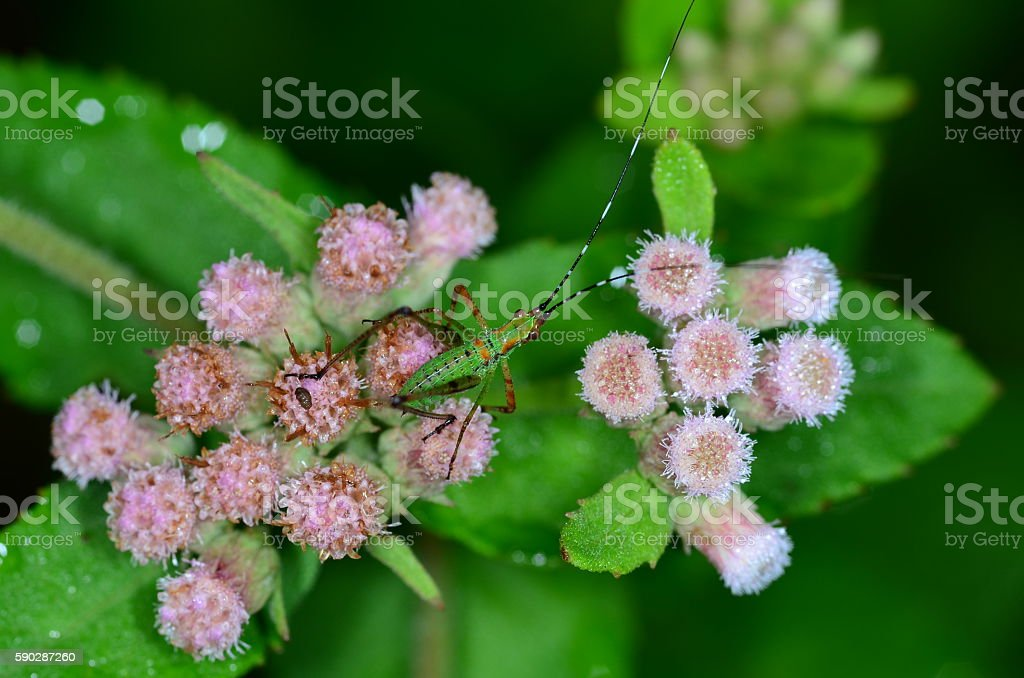 Veritcal view of green cricket on pink flowers stock photo