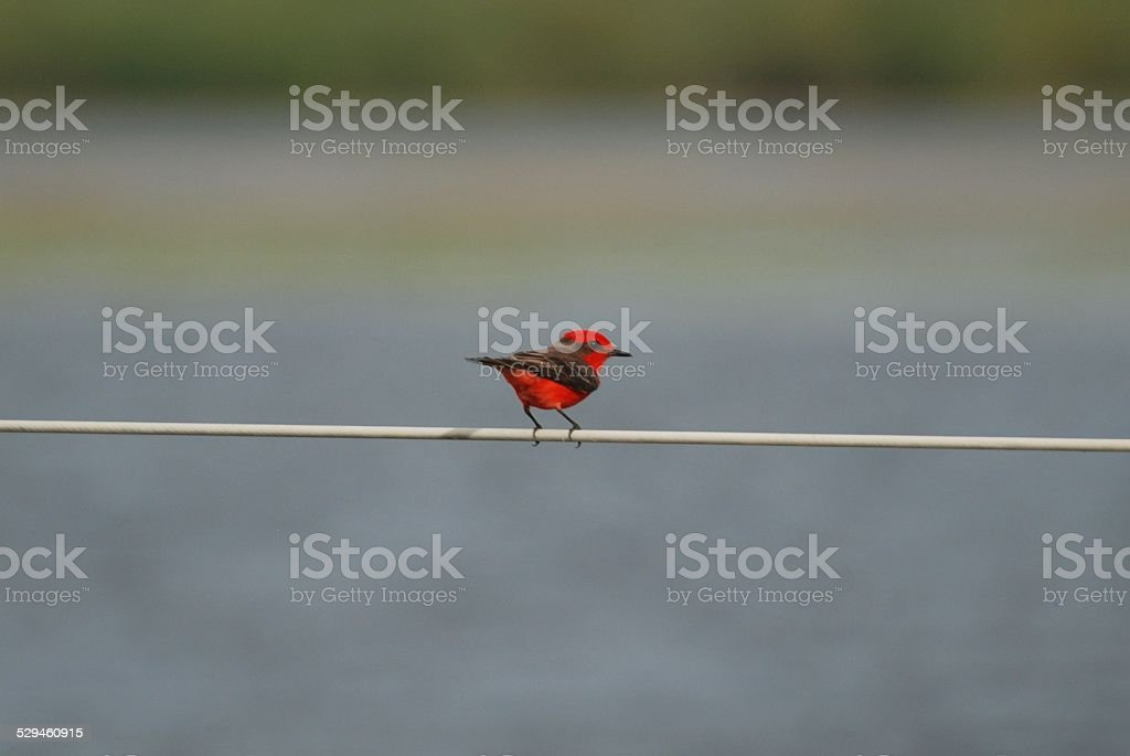 Vermilion Flycatcher at Crooked Tree royalty-free stock photo