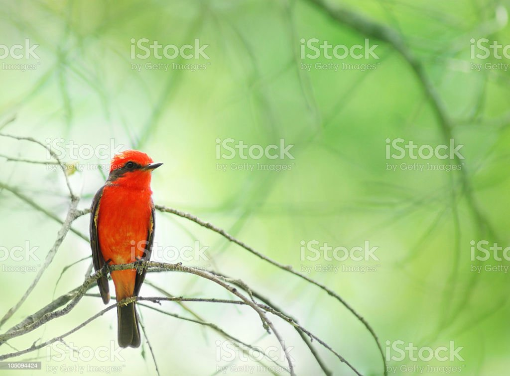 Vermilion Flycatcher in Big Bend Nationl Park royalty-free stock photo