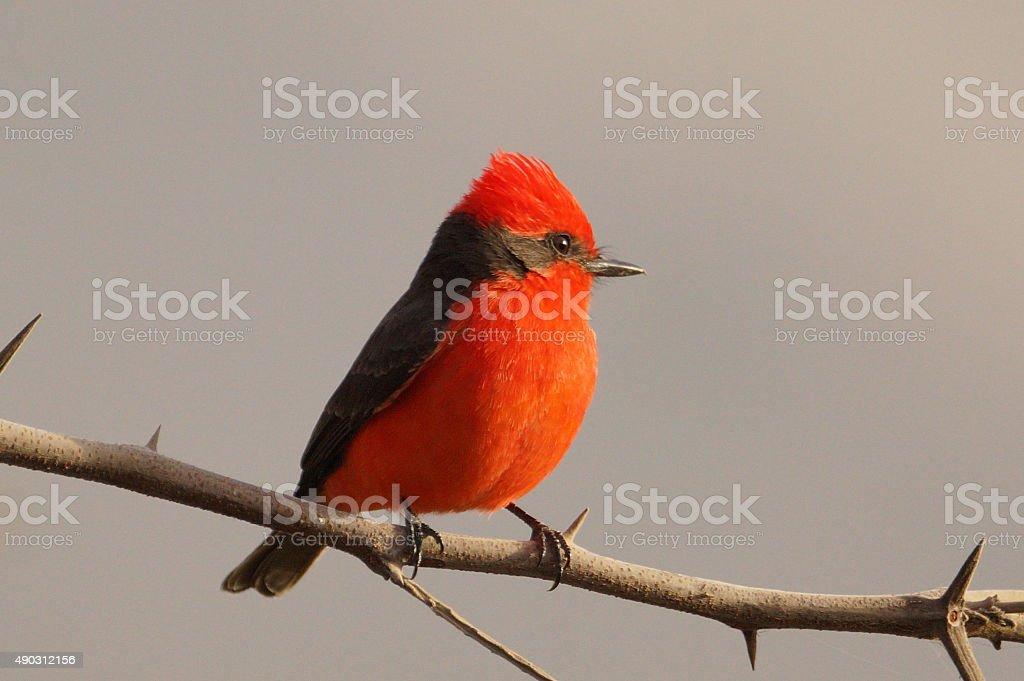 Vermilion flycatcher stock photo