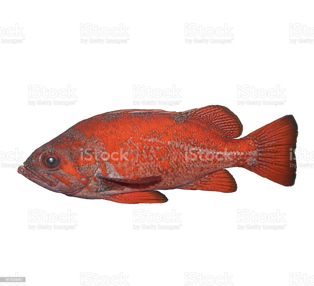 Vermilion Rockfish stock photo