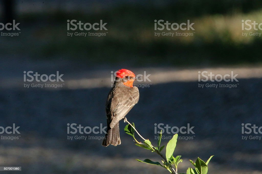 Vermillion Flycatcher - Texas stock photo