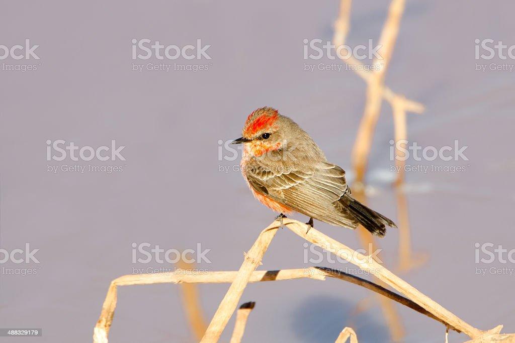 Vermillion Flycatcher, Young Male. Arizona stock photo