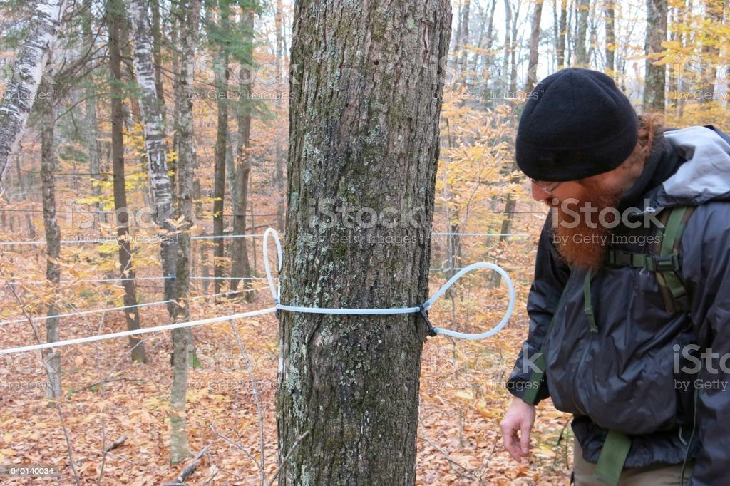 Vermont Sugarbush Maple Syrup Tap Tubing System Sap Collector Installed stock photo