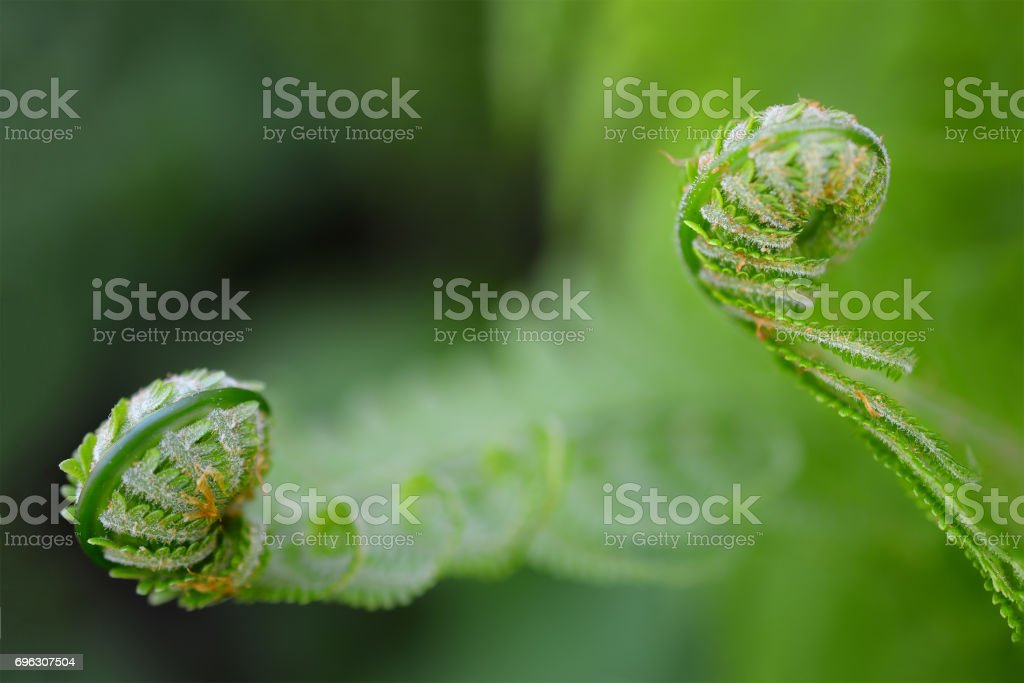 Vernal unfolding fern leaves. Young sprouts of the fern. stock photo