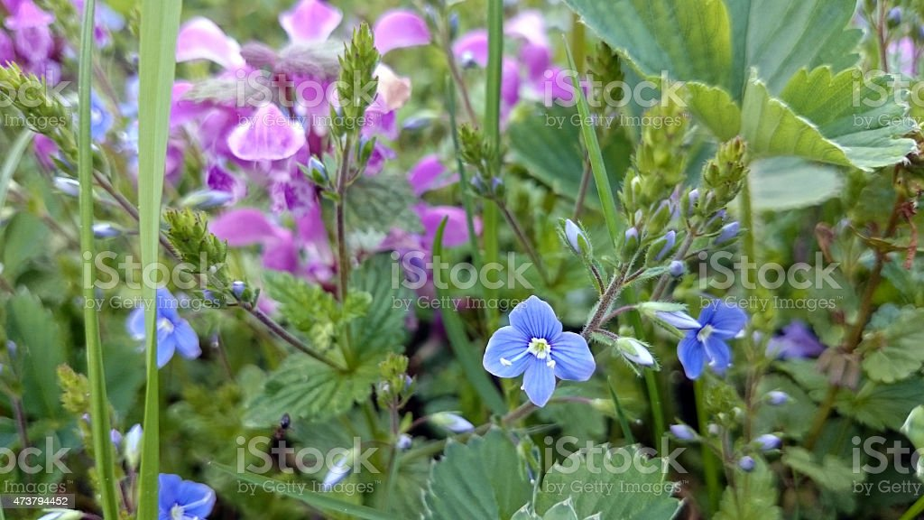 Veronica chamaedrys and Lamium stock photo