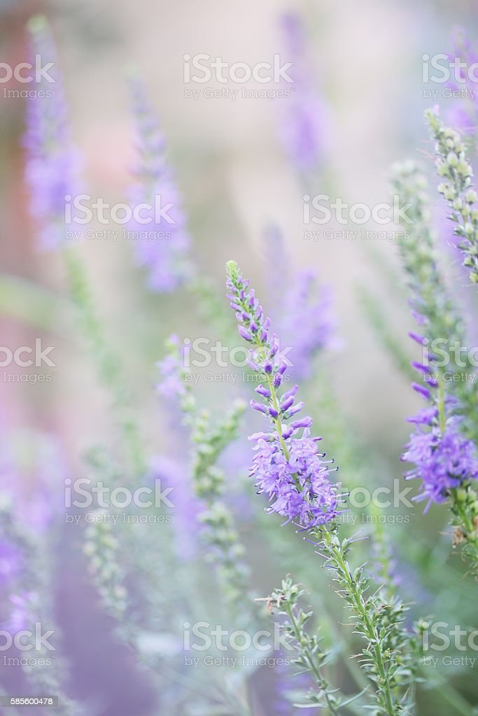 Veronica spicata stock photo