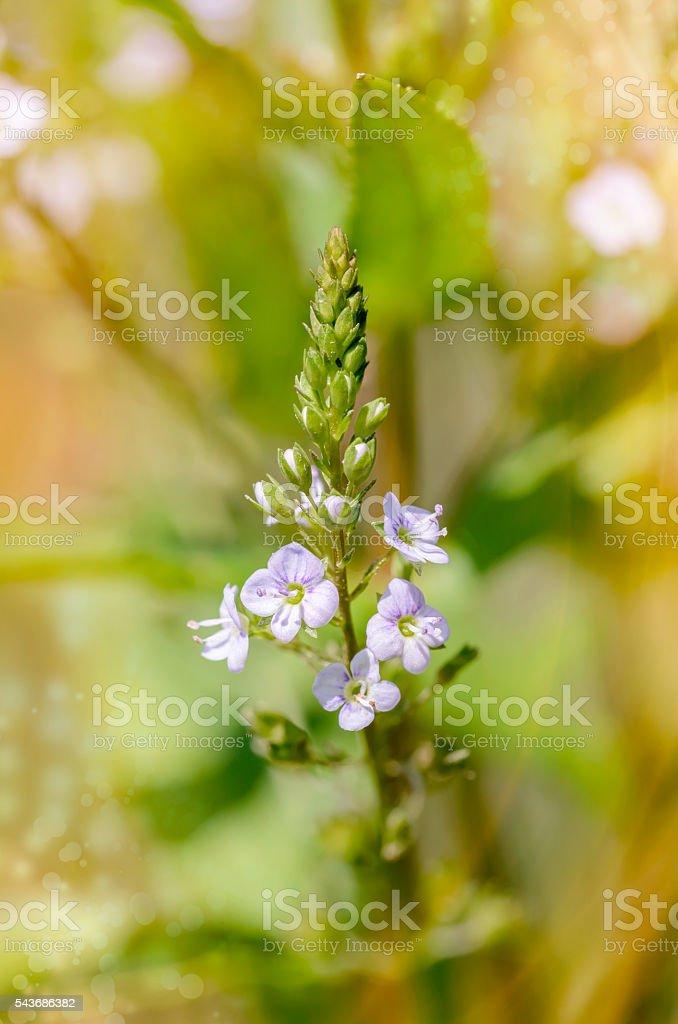 Veronica, Water Speedwell Flower stock photo