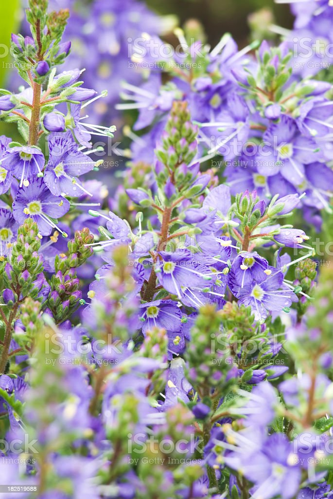 Veronica x 'Christy' (Speedwell) royalty-free stock photo