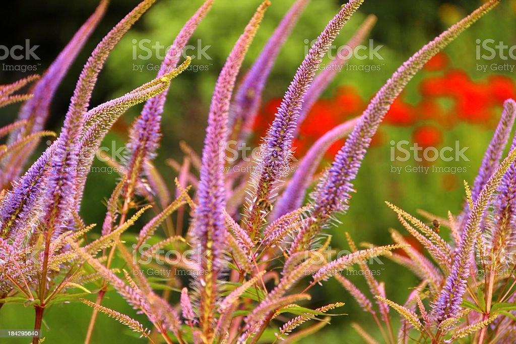 Veronicastrum virginicum blossoms stock photo