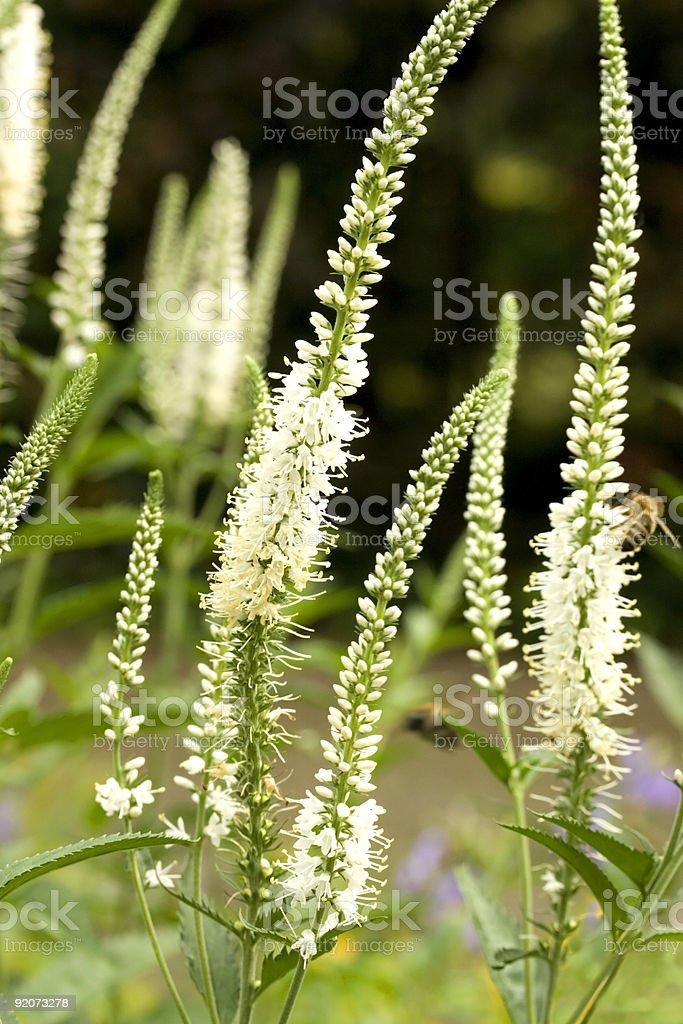 Veronicastrum Virginicum (White Perennial Flowers) stock photo