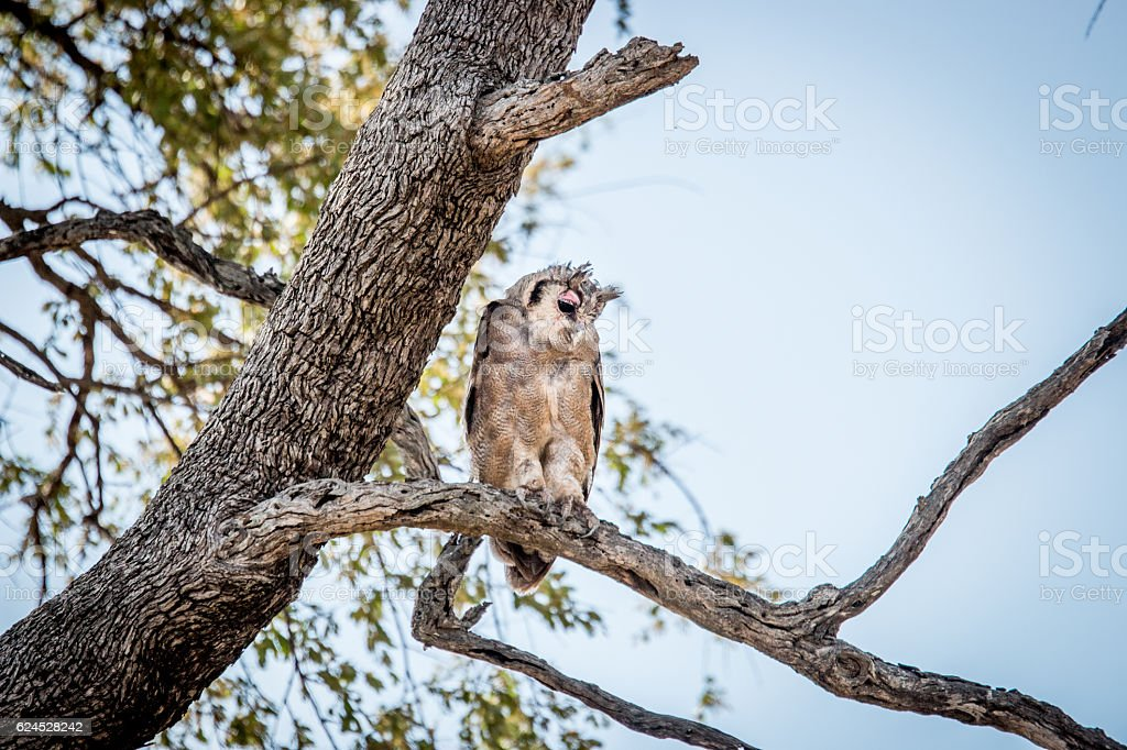 Verreaux eagle owl in the tree. stock photo