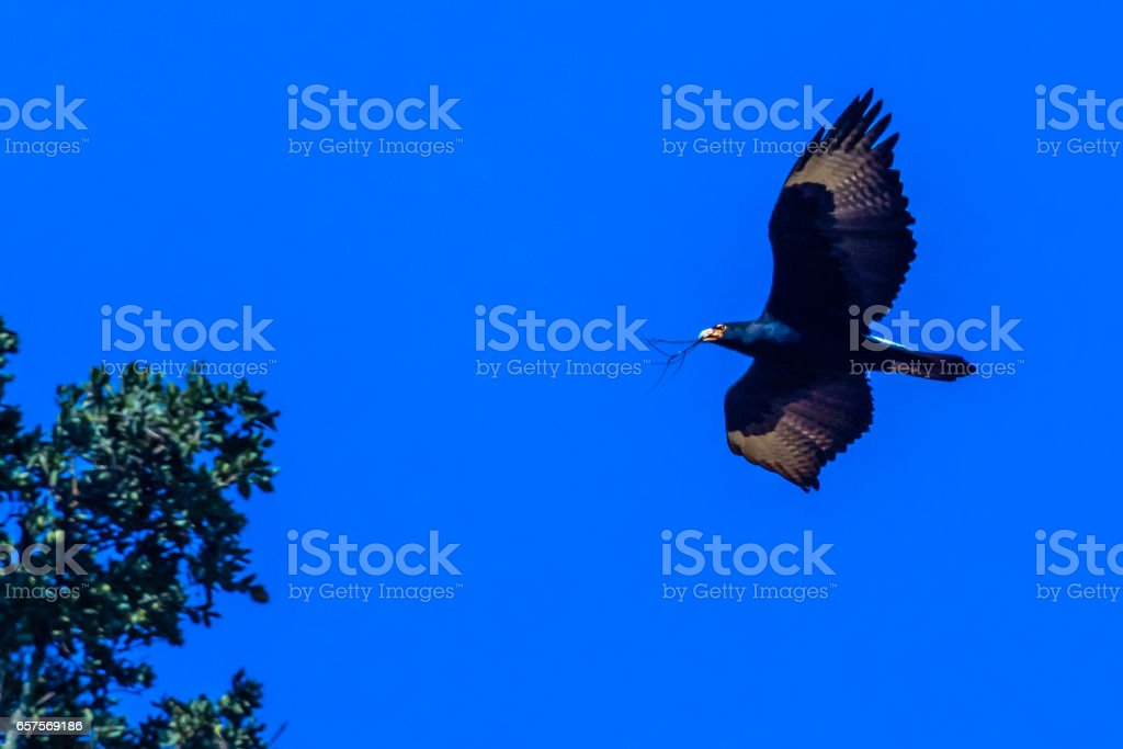 Verreaux's eagle, or African Black Eagle stock photo