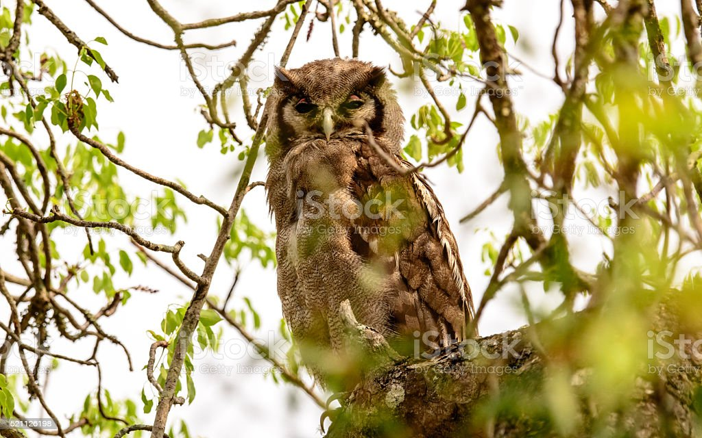 Verreaux's Eagle Owl in a tree stock photo