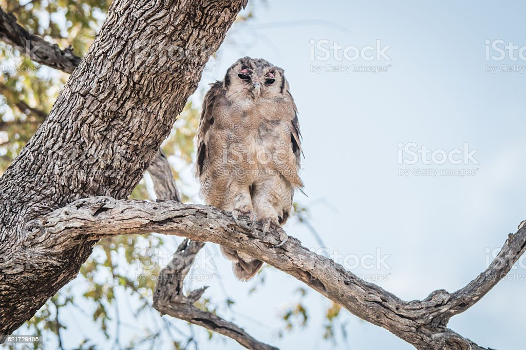 A Verreaux's eagle owl sitting on a branch. stock photo