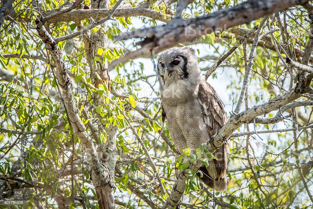 Verreaux's eagle owl sitting on a branch. stock photo