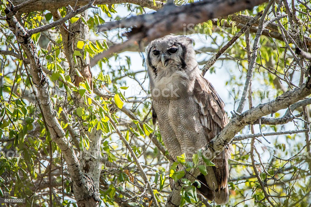 Verreaux's eagle owl sitting on a branch.d stock photo