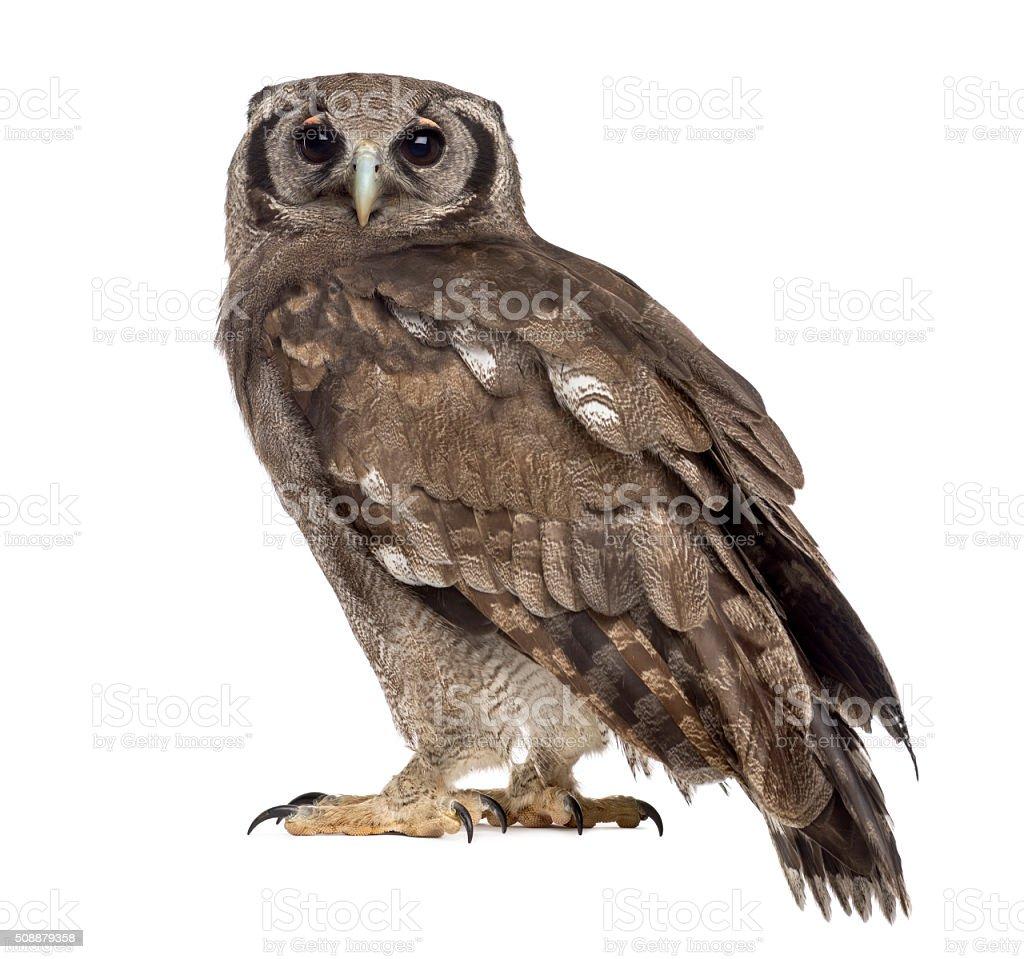 Verreaux's eagle-owl - Bubo lacteus (3 years old) stock photo