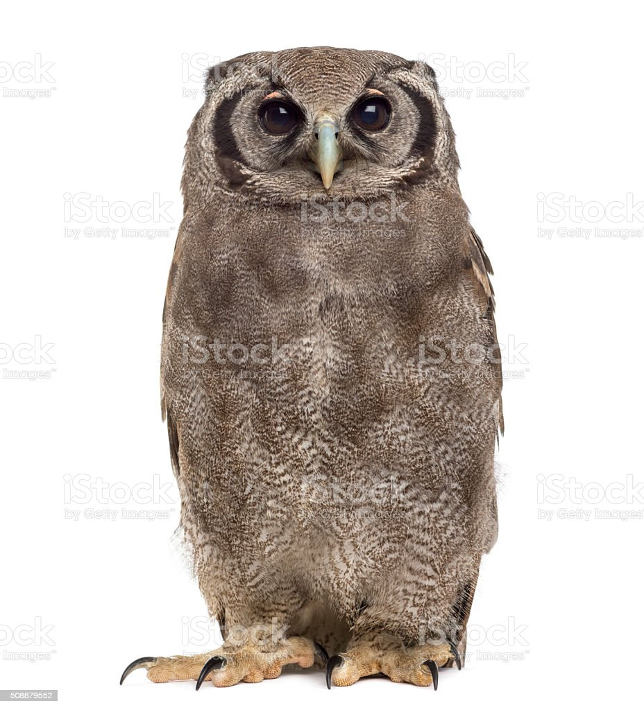 Verreaux's eagle-owl - Bubo lacteus (3 years old) stock photo