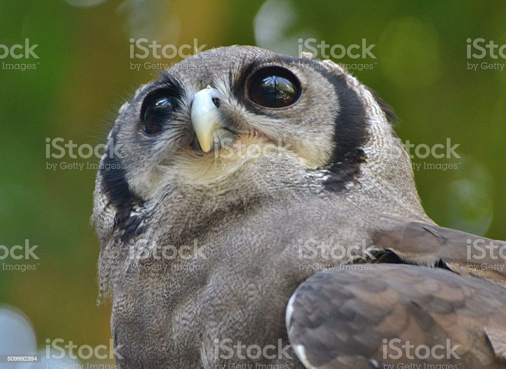 Verreaux's Eagle-Owl / Milky Eagle Owl (Bubo lacteus) stock photo