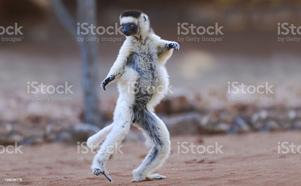 Verreaux's Sifaka (Propithecus verreauxi) dancing in Madagascar stock photo