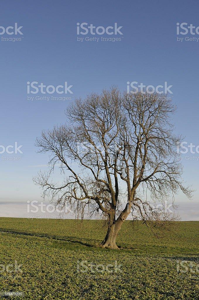 Vertical Ash royalty-free stock photo