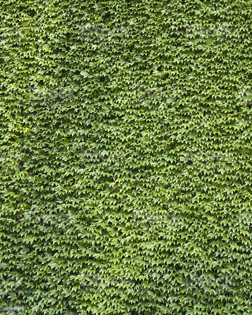 Vertical Background with Ivy Covered Wall royalty-free stock photo