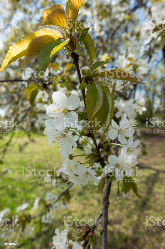 Vertical branch of cherry with lots of flowers stock photo