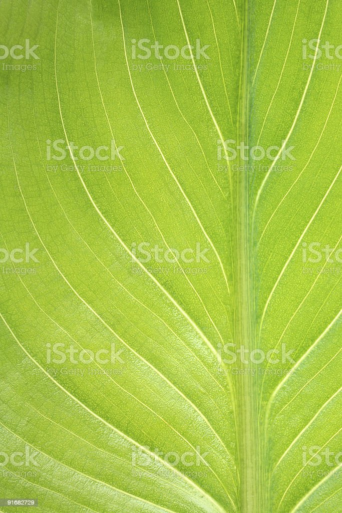 Vertical Calla leaf detail.Growth concept royalty-free stock photo