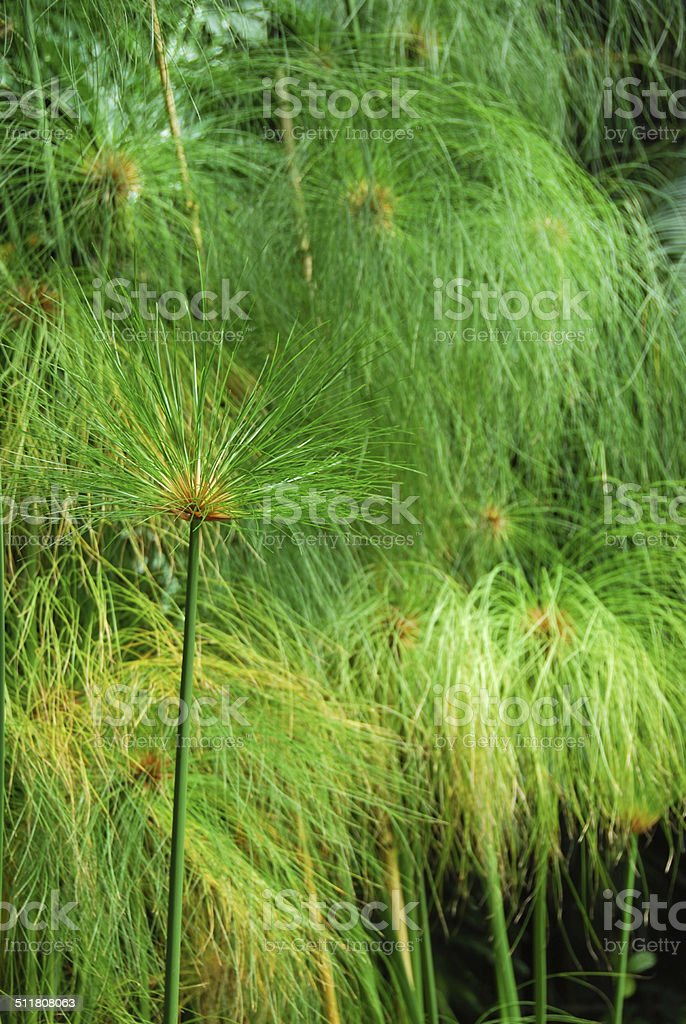 Vertical composition of a Cyperus papyrus stock photo