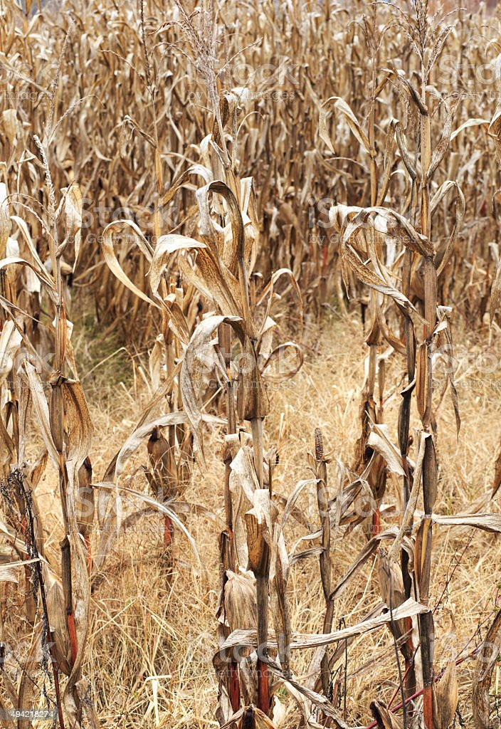 Vertical Dried Cornfield stock photo