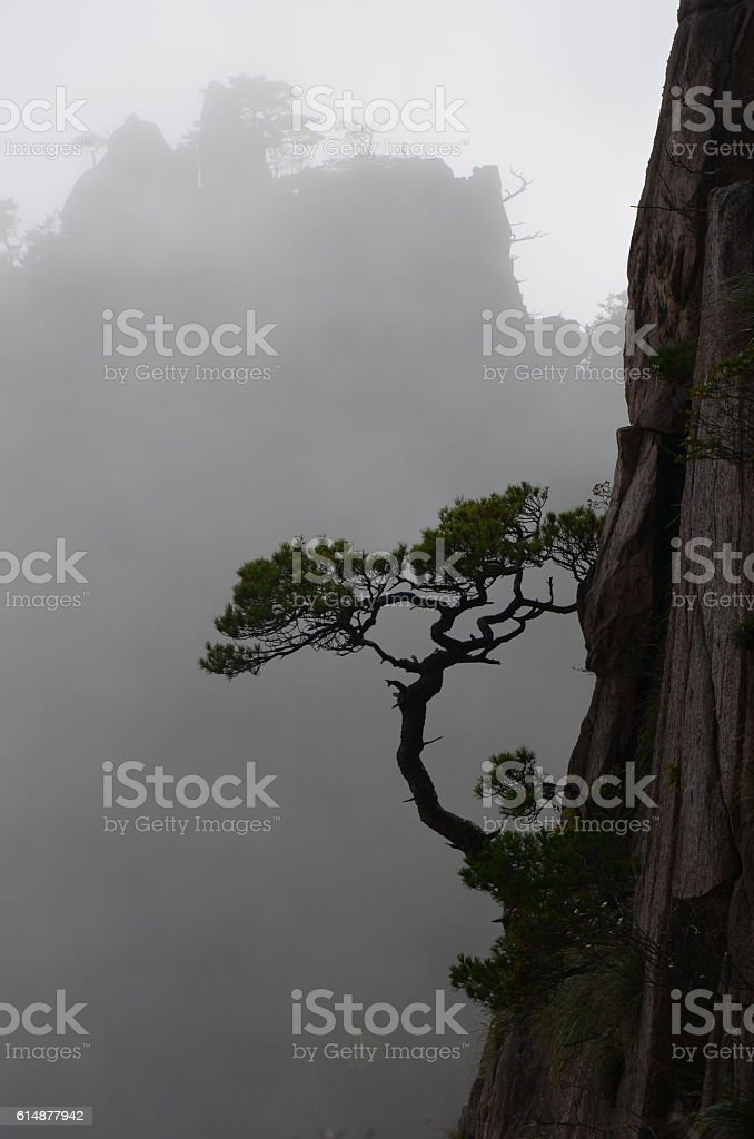 Vertical Growing Pines in the Huang Shan Mountains (Yellow Mountains), China stock photo