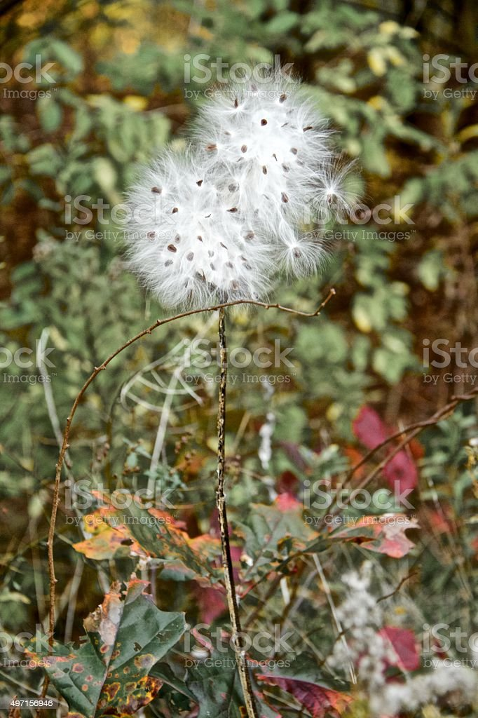 Vertical Image of Milkweed Plant with Seeds stock photo