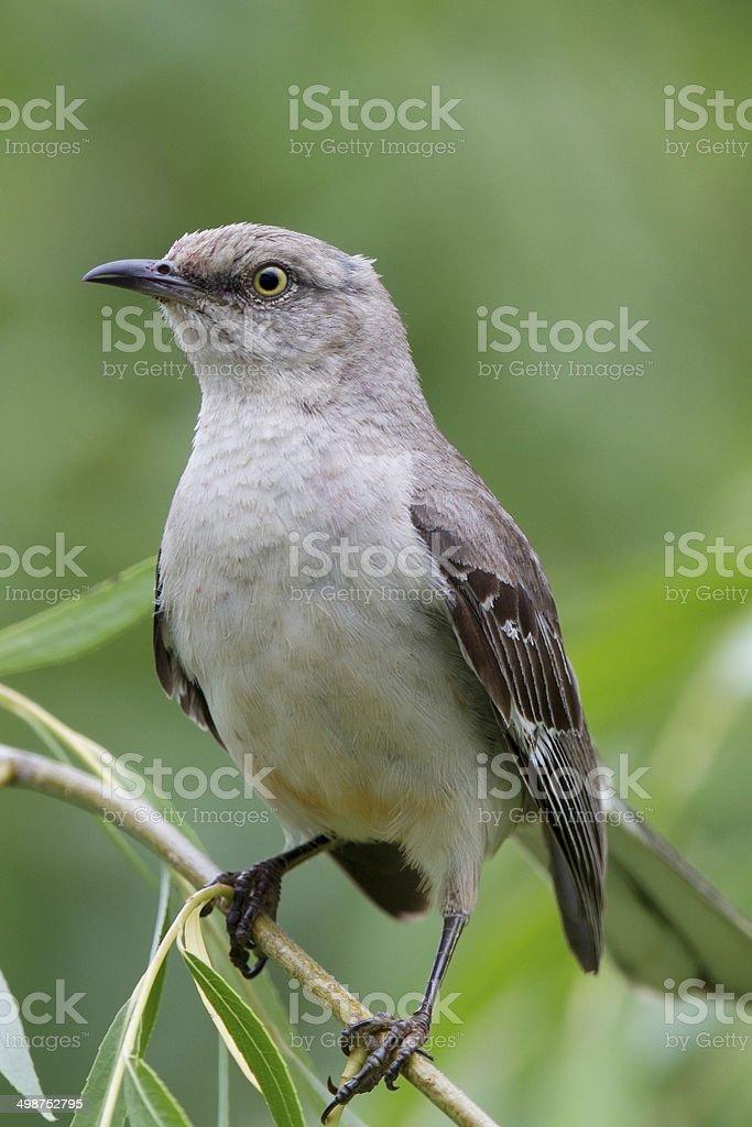 Vertical Mockingbird royalty-free stock photo