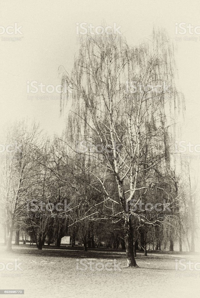 Vertical monochrome landscape with Russian birch. stock photo