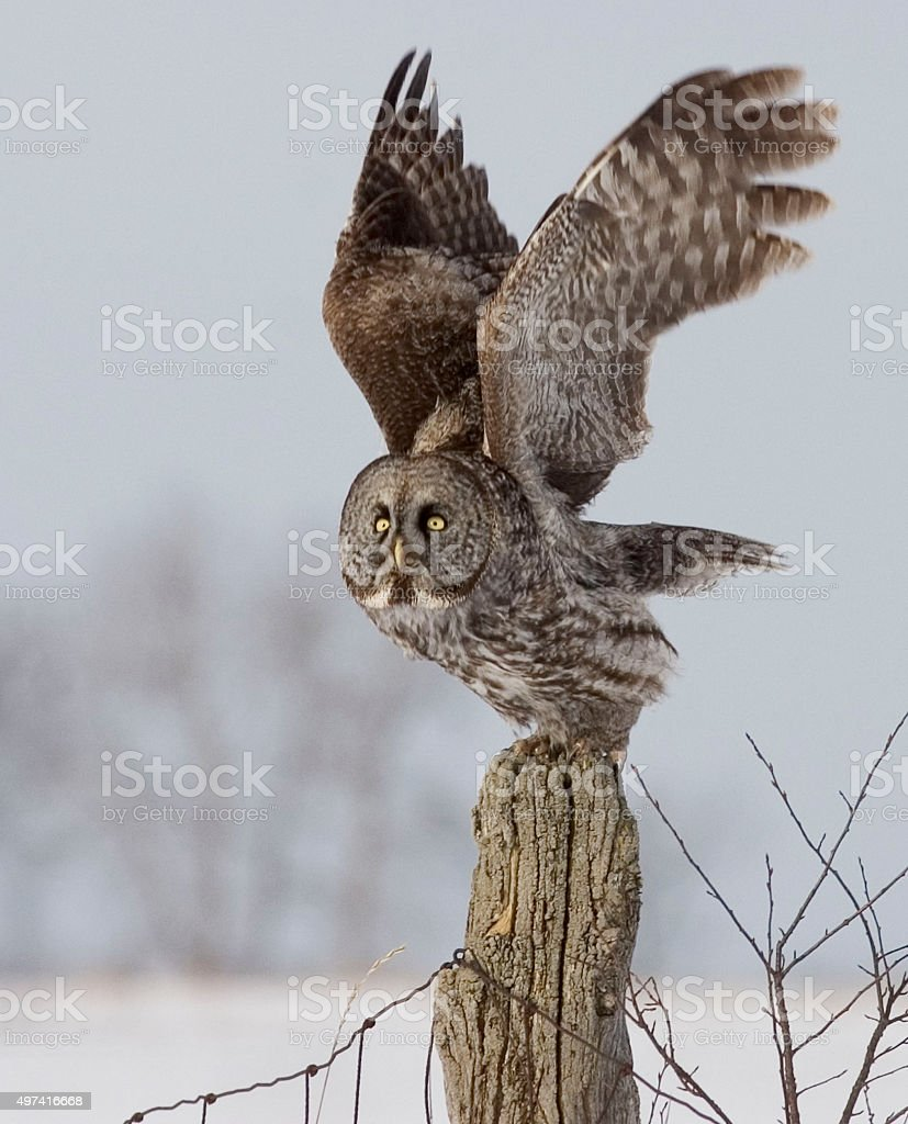 Vertical of a Great Gray Owl, Strix nebulosa, perched stock photo