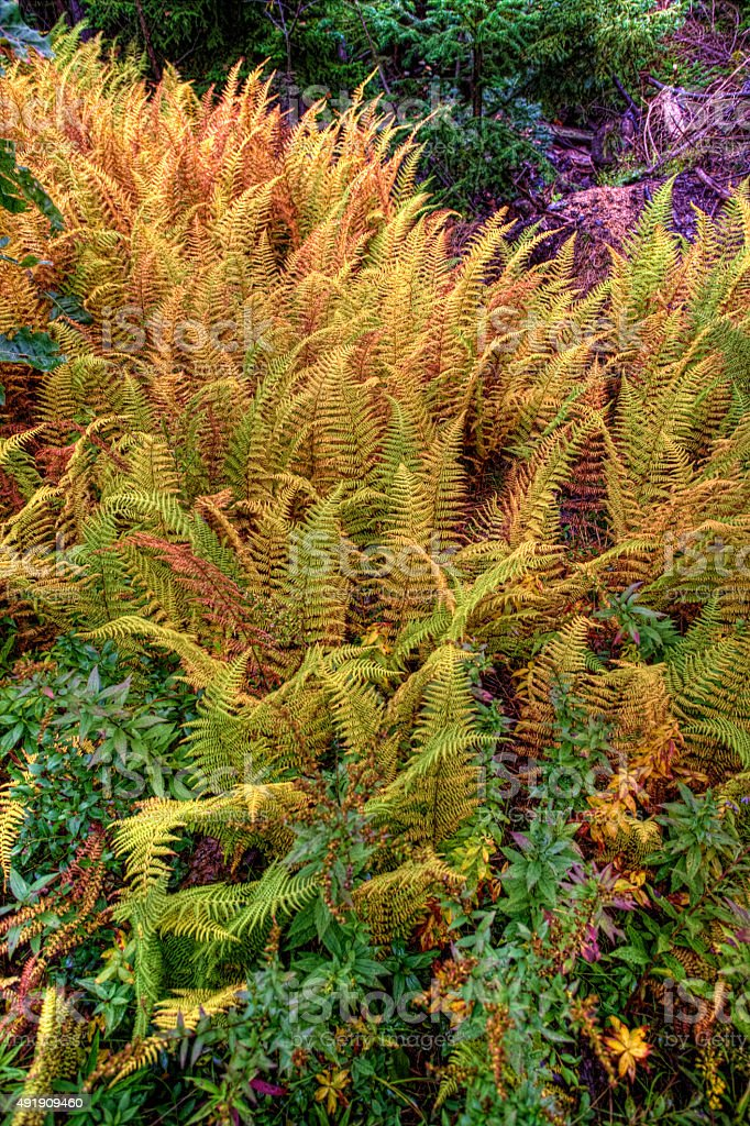 Vertical of Colorful Golden Fern in Maine stock photo