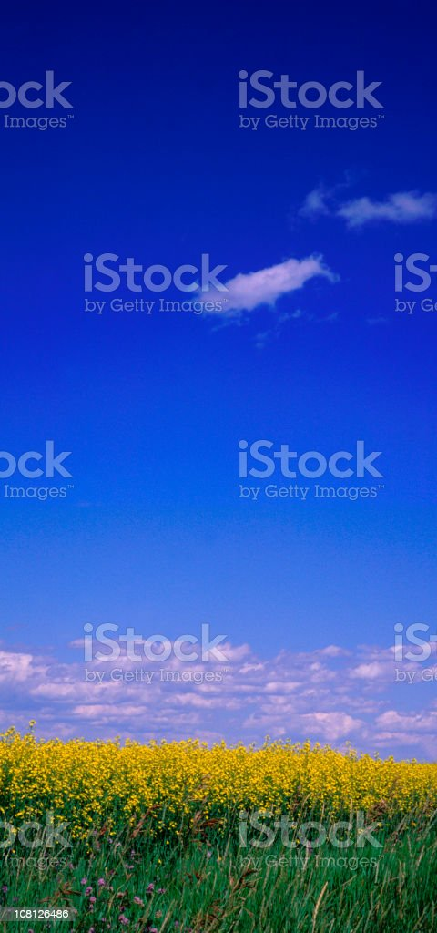 Vertical Panoramic Canola Fields royalty-free stock photo