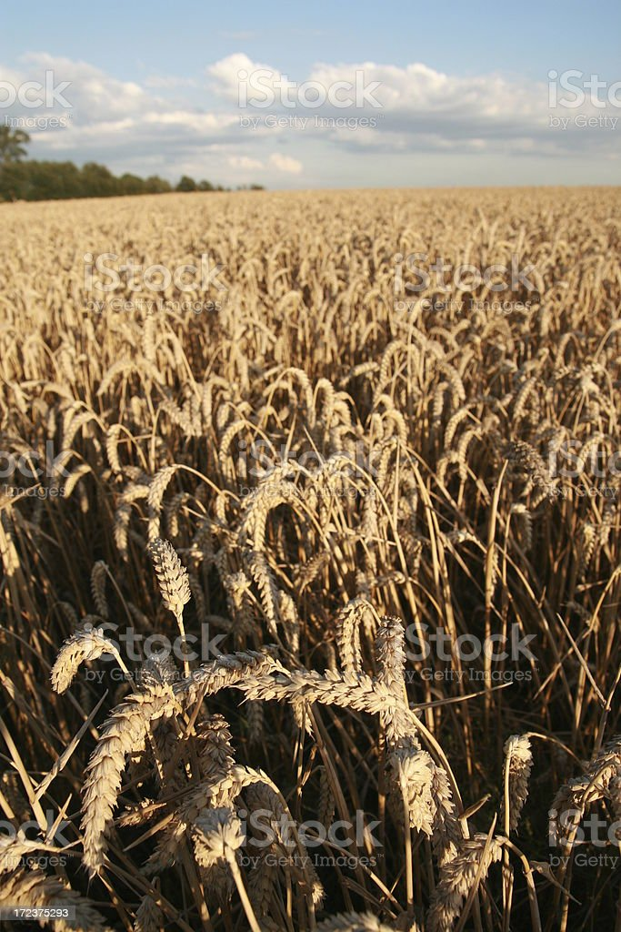 Vertical perfect wheat field. stock photo