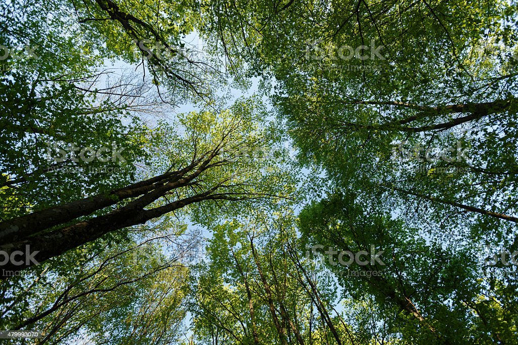 Vertical perspective within a dense forest with sky stock photo