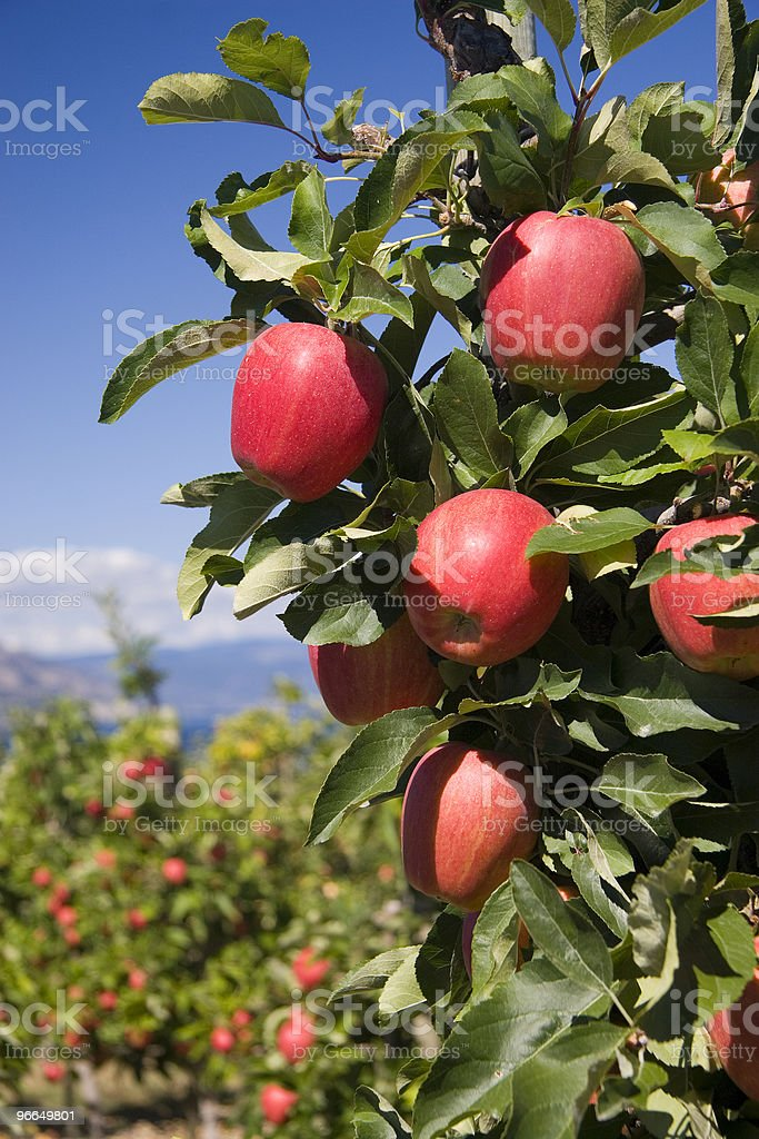 Vertical Photo of Red Delicious Apples in Orchard Setting royalty-free stock photo