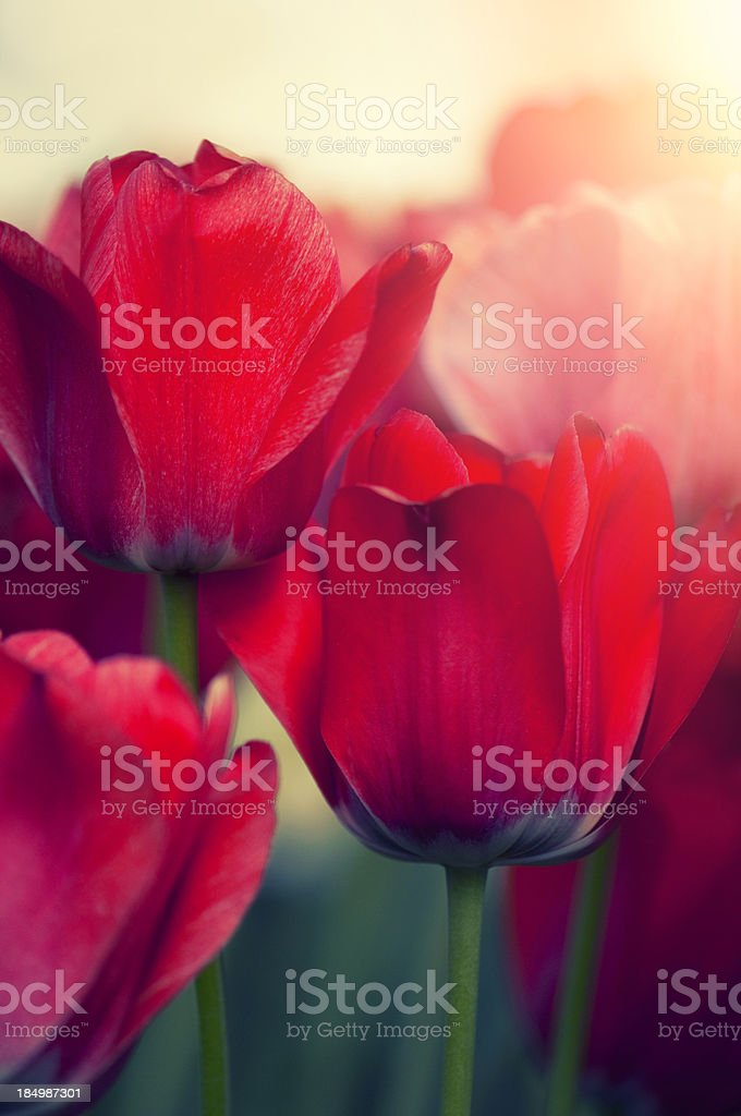 Vertical red tulip flowers in a spring flower bed stock photo