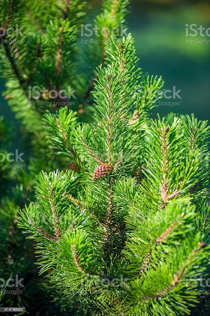 Vertical shot of pine branch with a young cone stock photo