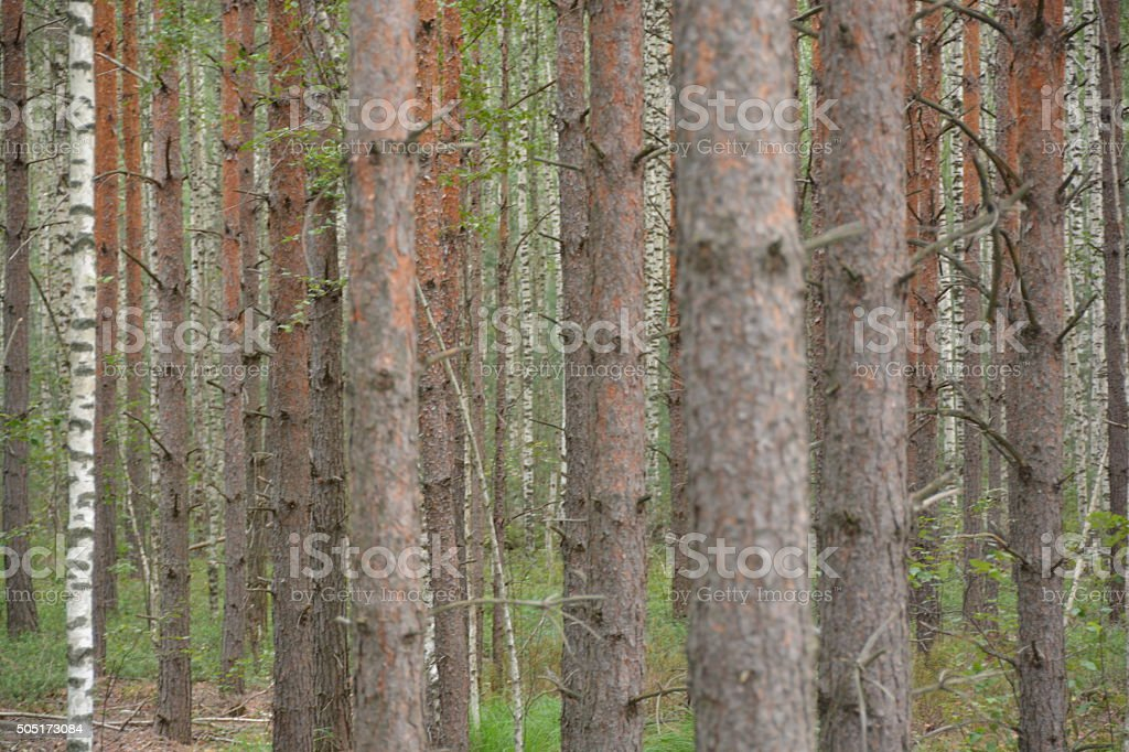 Vertical trunks. Forest. royalty-free stock photo
