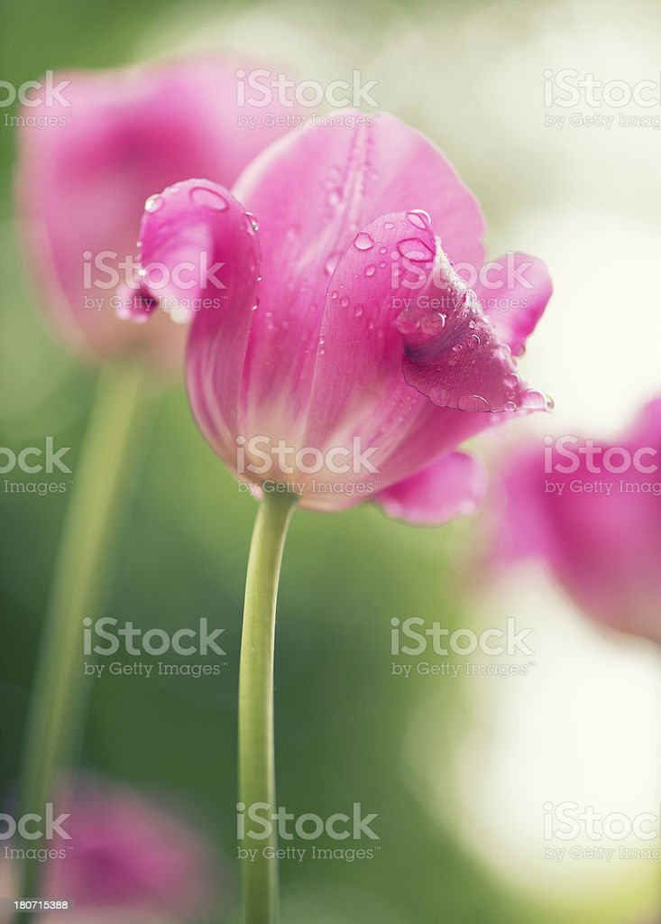 Vertical tulips in the sunshine after rain royalty-free stock photo